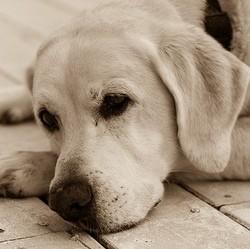 arthrose du chien, arthrose canine