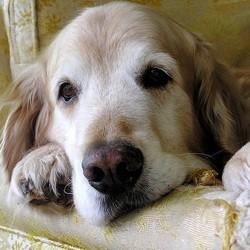 chien âgé golden retriever