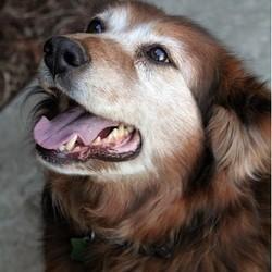 chien âgé
