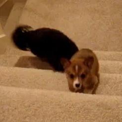 video chien chiot monter escalier