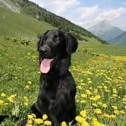 chien montagne