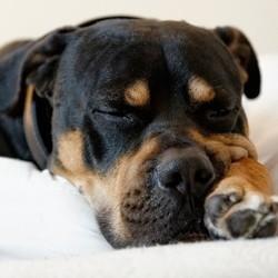 chien endormi