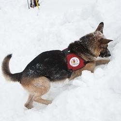 chien avalanche sauvetage montagne