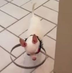 Chihuahua aveugle