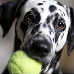 chien balle de tennis