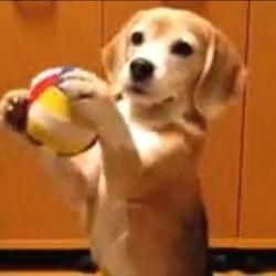 chien attrape balle video