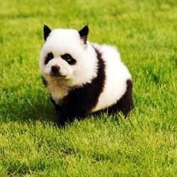 Chine : quand les chiens deviennent des pandas Chien-bebe-panda