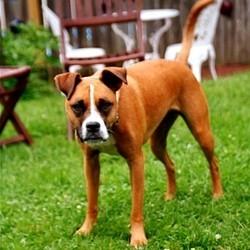 chien boxer sauve famille