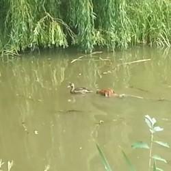 un chien et un canard nagent ensemble