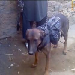 un chien capturé par les taliban en afghanistan