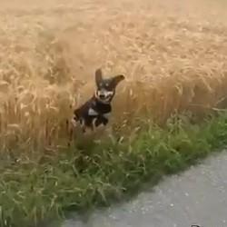 chien promenade champ blé