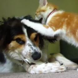 Chien et chat joueur