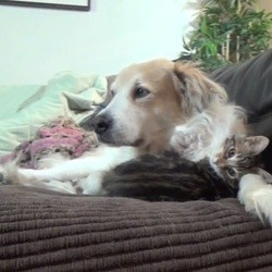 un chaton fait la sieste avec son meilleur ami le chien
