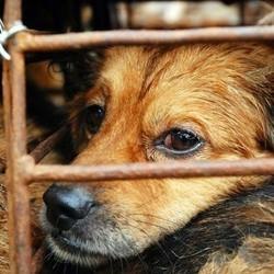 festival viande de chien chine