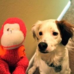 etude chien comprend homme singe