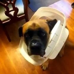 chien coupable video mastiff