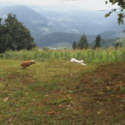 un chien court après un chat