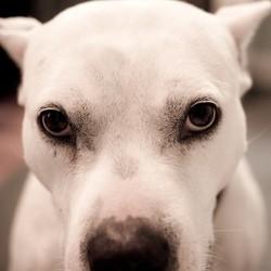 chien dangereux narbonne agression amstaff