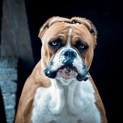 chien dangeureux puce electronique