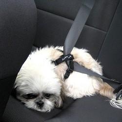 ne jamais laisser son chien dans une voiture en plein soleil