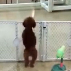 un chien danse