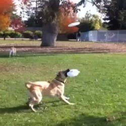 chien video dog frisbee video
