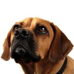 chien dominance domination