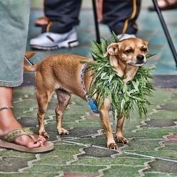 chiens chats drogue marijuanna cannabis