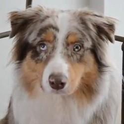 chien ecolo video berger australien
