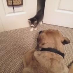 un gros chien effrayé par un petit chaton
