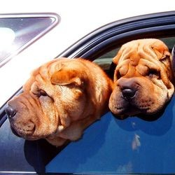 chien mort enfermé dans une voiture chaleur