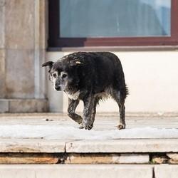 chien errant roumanie
