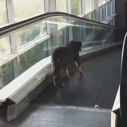 un chien prend un escalator à l'envers