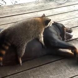 un chien et un raton laveur
