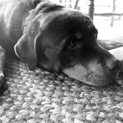 chien euthanasie vivant rottweiler