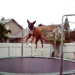 chien saute trampoline