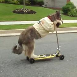 chien fait trottinette briard norman