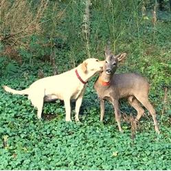 chien labrador faon orphelin