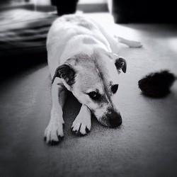 la frustration chez le chien
