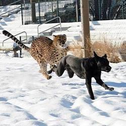 un labrtador et un guépard meilleurs amis