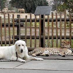 des chiens pour tenir compagnie aux guépards