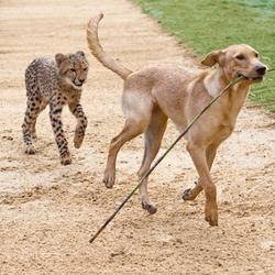 guépard chien