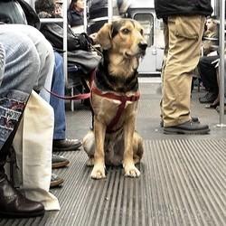 chien guide d'aveugle blessé metro