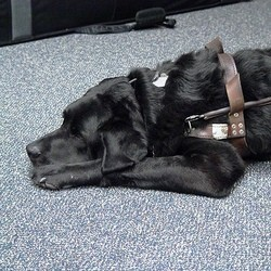 chien suisse guide taxi