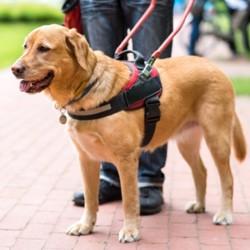 chien guide d'aveugle , chien héros