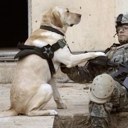 chien militaire guerre trouble post-traumatique