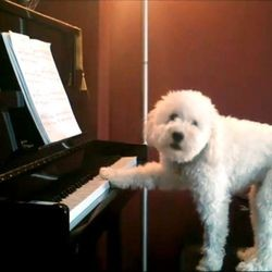 chien blanc joue piano