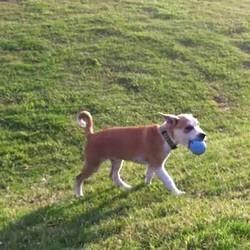Un chiot joue tout seul à la balle