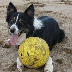 chien joue au volley ball