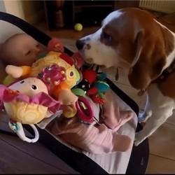 un chien vole les jouets d'un bébé